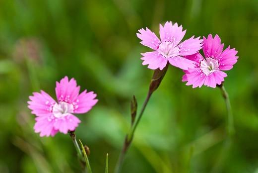 Stock Photo: 3153-781452 wild dianthus