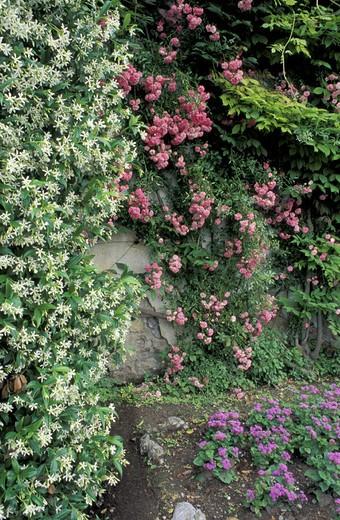 rose and false jasmin flowers, villa carlotta, italy : Stock Photo