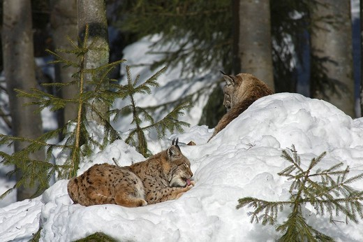 Stock Photo: 3153-791637 lynx lynx, bayerischer wald np, national park bavarian forest, germany