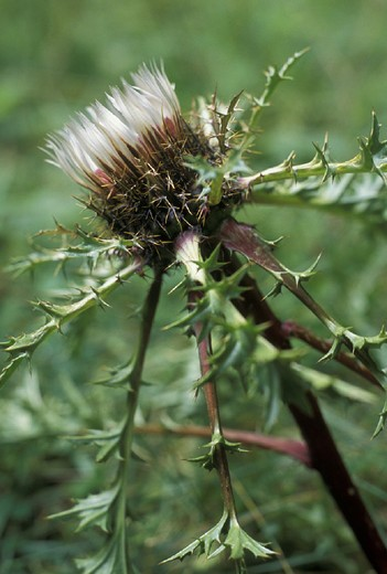 Stock Photo: 3153-796191 carlina acaulis caulescens flower, roncobello, italy