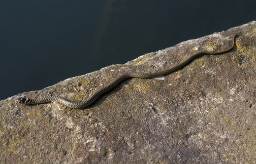Stock Photo: 3153-798153 grass snake, trezzo sull´adda, italy