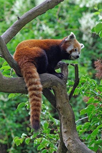 red panda, ailurus fulgens : Stock Photo