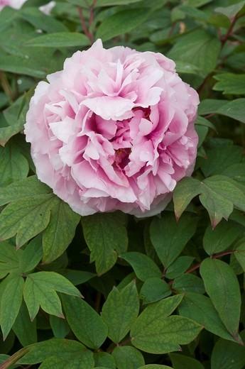 Stock Photo: 3153-804011 paeonia suffruticosa flower, lonno, italy