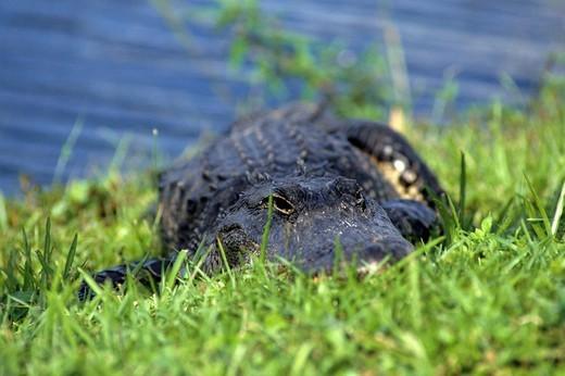 USA, florida, crocodile : Stock Photo