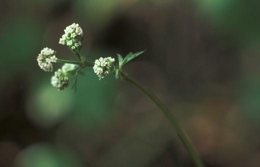 Stock Photo: 3153-809833 sanicula europaea flower, fonteno, italy