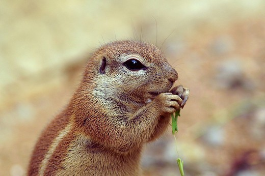 south african ground squirrel, xerus inauris : Stock Photo