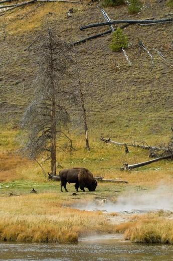 Stock Photo: 3153-810998 Bison, Yellowstone National Park, Wyoming, USA.