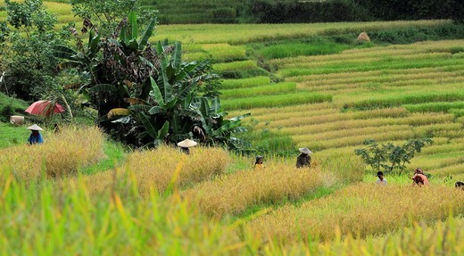 People at work in the rice field,Tana Toraja, South Sulawesi, Indonesia : Stock Photo