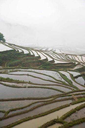 China. Yunnan Province. Yuanyang. Terraced rice fields. : Stock Photo