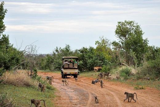 Stock Photo: 3153-821343 baboons, Chobe National Park, Botswana