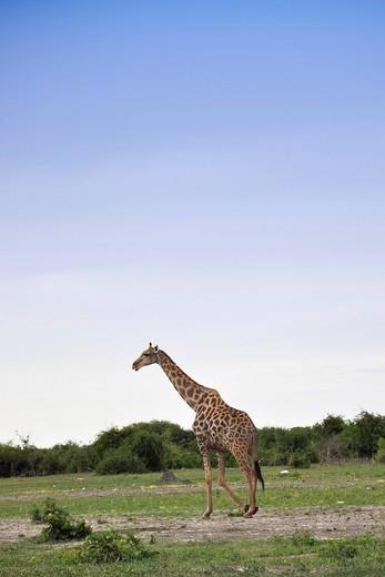 Stock Photo: 3153-822103 giraffa, chobe national park, botswana