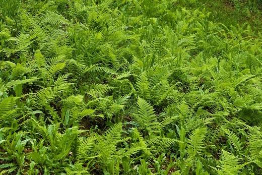Stock Photo: 3153-824725 Ferns, Lenno, Como lake, Italy. Ferns, Lenno, Como lake, Italy