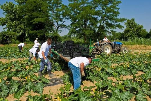 Stock Photo: 3153-825633 Romanian workers in the zucchini cultivation, Merlino Azienda Agricola San Maurizio, Merlino, Lodi province, Italy. Romanian workers in the zucchini cultivation, Merlino Azienda Agricola San Maurizio, Merlino, Lodi province, Italy