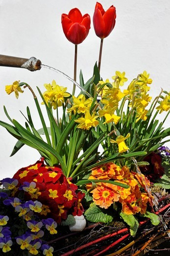 Stock Photo: 3153-831201 Flowers, narcissus,daffodil, tulip, cowslip. Flowers, narcissus,daffodil, tulip, cowslip