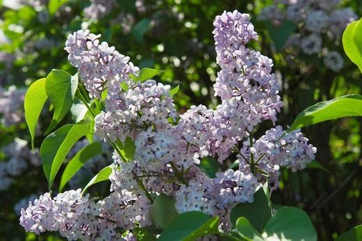Stock Photo: 3153-831579 syringa vulgaris flowers, alzano lombardo, italy