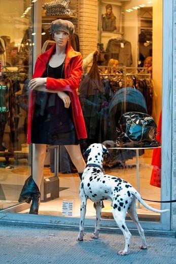 dalmata osserva una vetrina. Dalmatian dog looking at the window of a shop : Stock Photo