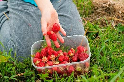 raccolta di fragole. strawberries harvested : Stock Photo