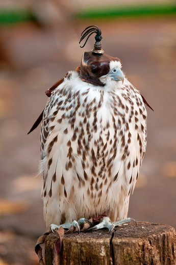 falco lanario con cappuccio. Lanner falcon with hood : Stock Photo