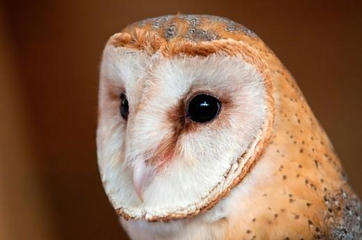 barbagianni. barn owl : Stock Photo