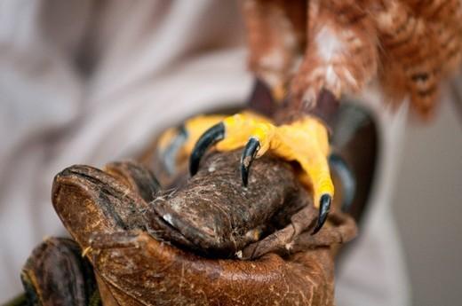 artigli di rapace. raptor claw : Stock Photo