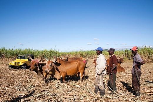 Stock Photo: 3153-838356 contadini e bestiame in una piantagione di canna da zucchero, zona di higuey, hispaniola, repubblica dominicana, caraibi. sugar cane plantation, zone of Higuey, Hispaniola, Dominican Republic, Caribbean