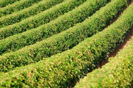 vigna di sassicaia, bolgheri, toscana. vineyard sassicaia, bolgheri, tuscany : Stock Photo