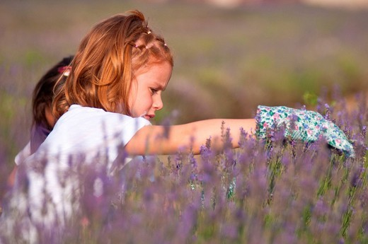 bambine che raccolgono fiori di lavanda. children gathering flowers of lavender : Stock Photo