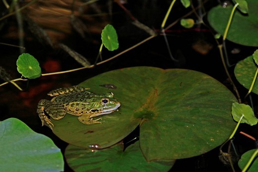 Stock Photo: 3153-844181 rana. frog