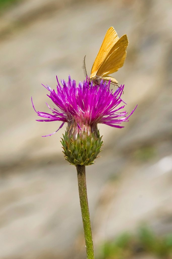 Stock Photo: 3153-855050 svizzera, kerzers, papillorama, farfalla. Italy, Lombardy, Val di Scalve, Orobie mountain, butterfly on flower