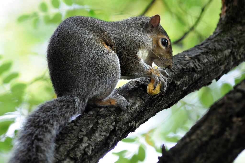 Stock Photo: 3153-855192 Squirrel