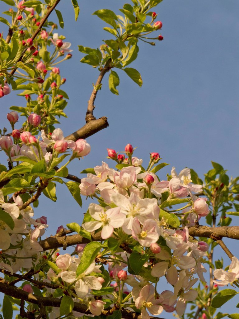 Stock Photo: 3153-855209 albero di mele in fiore. apple tree in bloom