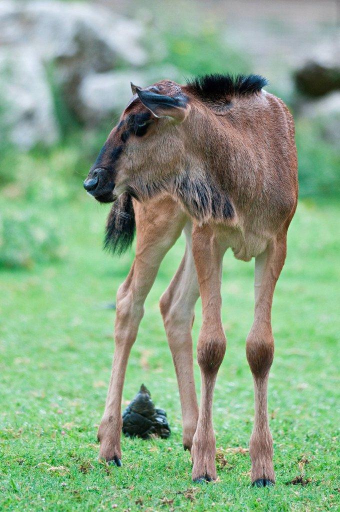Stock Photo: 3153-860623 cucciolo di gnu, parco natura viva, veneto, italia. gnu, parco natura viva, veneto, italy