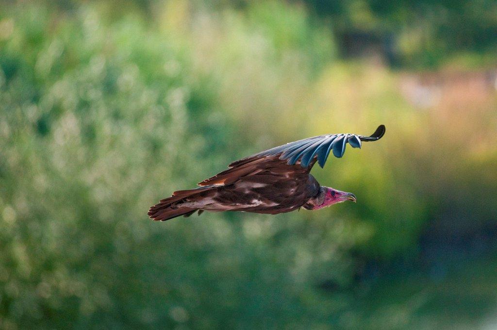 Stock Photo: 3153-863433 avvoltoio in volo, parco oltremare di riccione. vulture in flight, parco oltremare in riccione