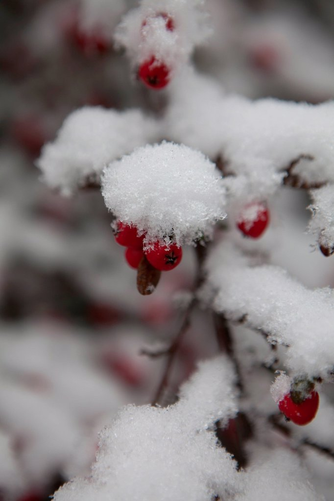 Stock Photo: 3153-863987 neve su un ramo con bacche rosse. Snow on a branch with red berries