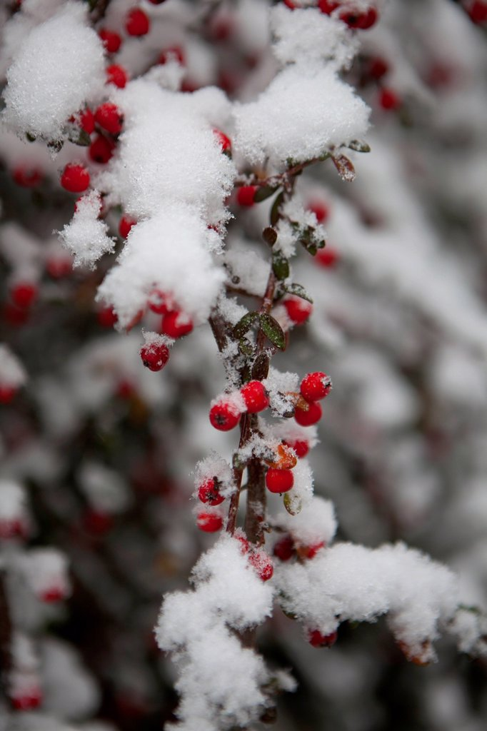 neve su un ramo con bacche rosse. Snow on a branch with red berries : Stock Photo