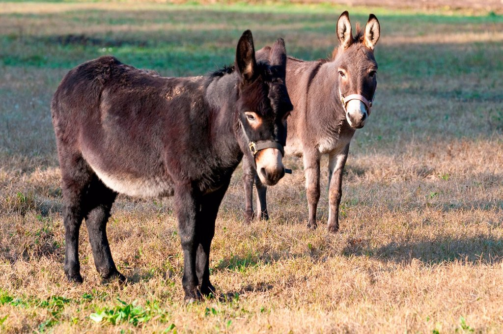 asini. donkeys : Stock Photo