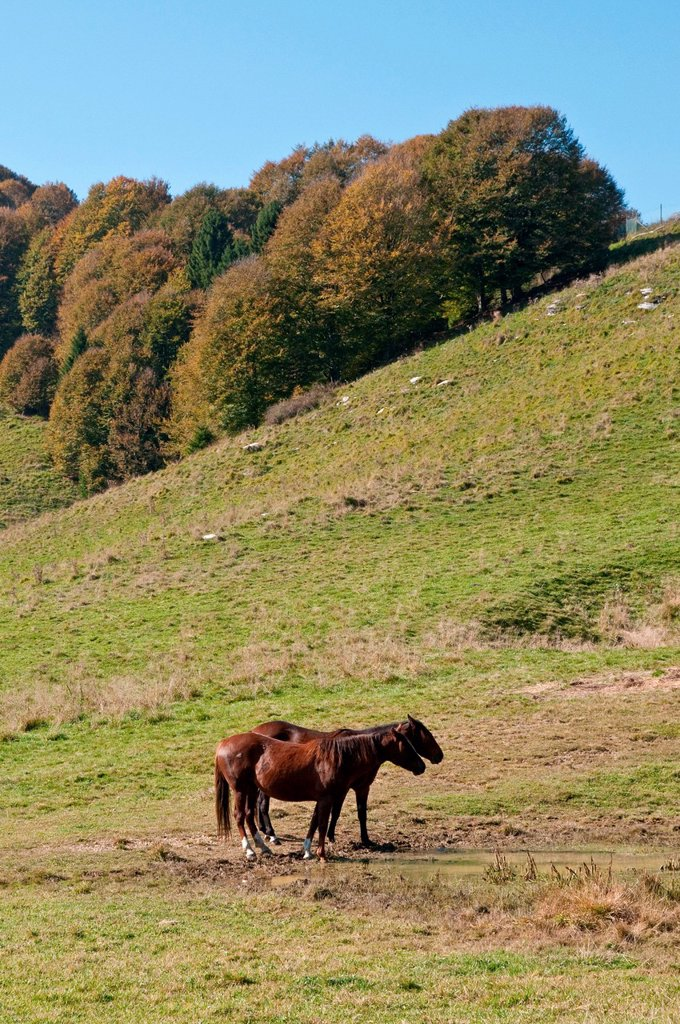 Stock Photo: 3153-864280 cavalli in pian cansiglio, veneto, belluno. pian cansiglio, veneto, italy