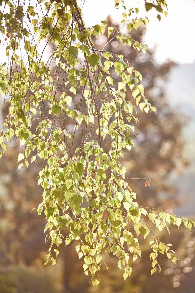 Stock Photo: 3153-866078 ramo di betulla al sole. birch branch in the sun