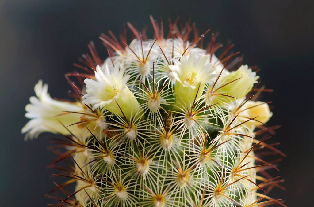 mammilaria in fiore. mammilaria : Stock Photo
