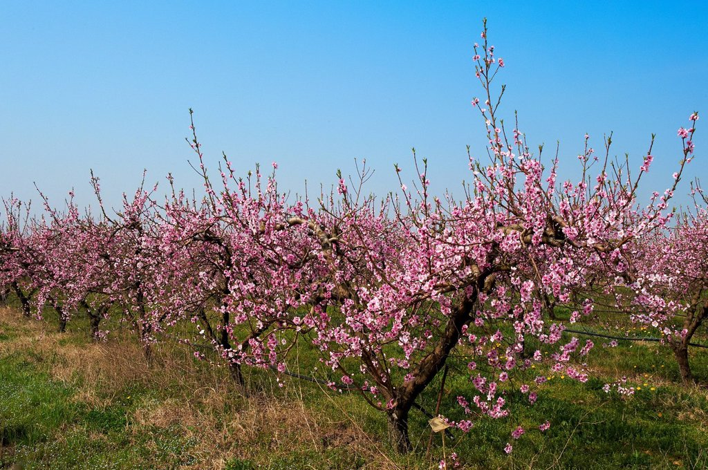 peach trees in bloom : Stock Photo