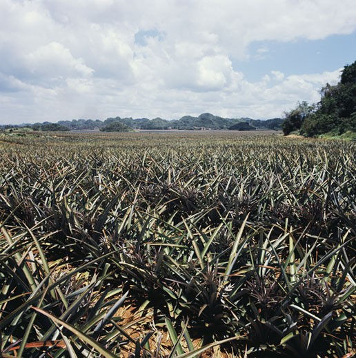 Stock Photo: 3800-508624 Pineapple Fields