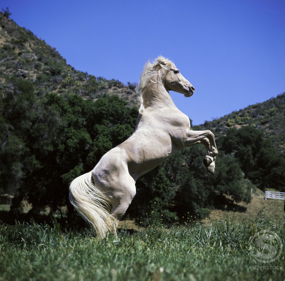 Stock Photo: 3807-102398 A Palomino Horse standing on its hind legs