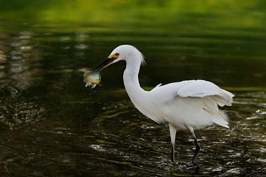Stock Photo: 4007-1004 Snowy egret (Egretta thula) holding a fish in its beak, Florida, USA