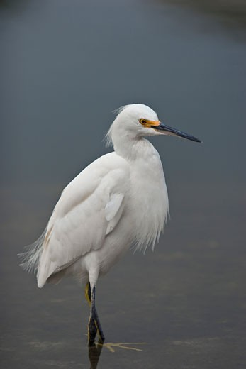 Snowy egret (Egretta thula) standing in a river, Florida, USA : Stock Photo