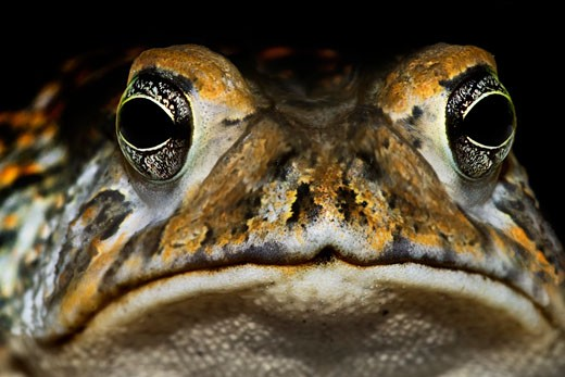 Close-up of a frog, Florida, USA : Stock Photo
