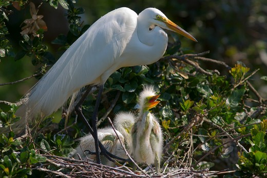 Stock Photo: 4007-1069 Egret mother tending chicks, Florida, USA