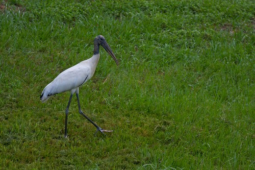 Wood stork (Mycteria americana) in a field, Florida, USA : Stock Photo