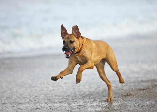 USA, Florida, Jacksonville, Jacksonville Beach, Rhodesian Ridgeback running on beach : Stock Photo