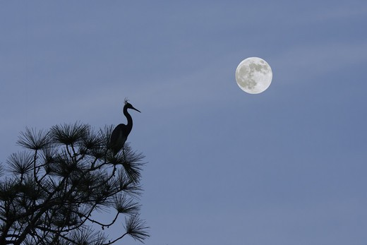 Stock Photo: 4007-1275 USA, Florida, Jacksonville, Jacksonville Beach, Bird silhouette in tree with moon