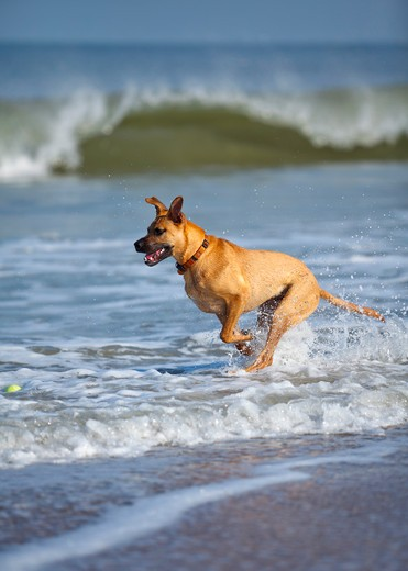 Stock Photo: 4007-1299 USA, Florida, Jacksonville, Jacksonville Beach, Rhodesian Ridgeback chasing ball in surf